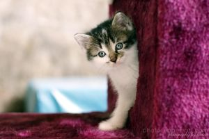 Blue eyed kitten by FeliDae84