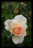 In Between - White Rose by KingsRansom
