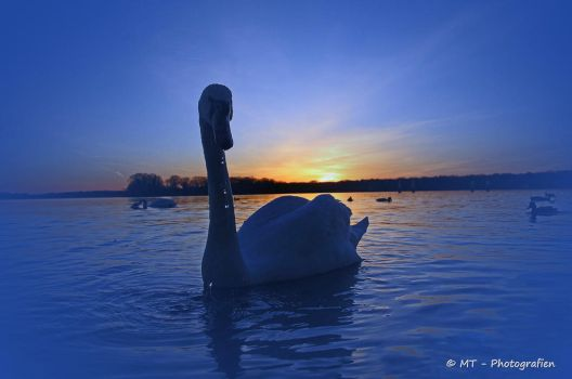swan romance 9 by MT-Photografien