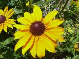 Blackeyed Susan by Nyghte