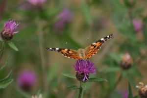 Monarch Butterfly 010 by MurfQ-Stock