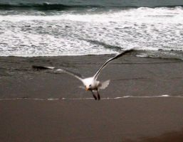 SEAGULL by crazy-demon-fish