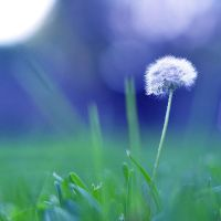 Dandelion by photoha