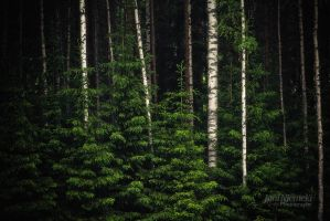 Birches And Spruces by Nitrok