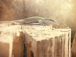 Lizard on a Fence :: Sherwood Forest by Jiel
