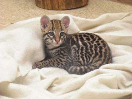 Baby Ocelot by Theheartcanburn