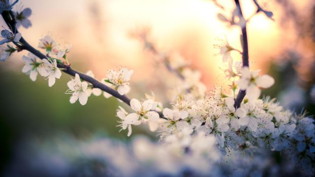 Blossoms 3 by LSDavid