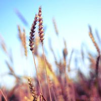 wheat square. by simoendli