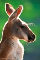 Red Kangaroo Profile by amrodel