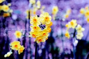 Narcissus by maryfairie