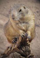 Black-Tailed Prairie Dog by HDevers