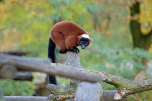 Red Ruffed Lemur pt. 3 by scoiattolissimo