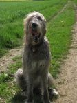 Irish Wolfhound 04 by BmAStock