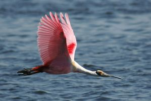 Spoonbill Flight 1 by Kippenwolf
