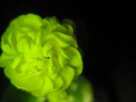 Flower with green light by Zabboud