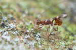 Braconid wasp ovipositing by melvynyeo