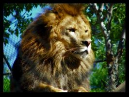 Lion by 139866