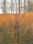 Little Redbud by scullfase
