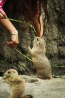 Prairie dog 4 by Sabbie89