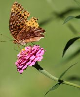Great Spangled Fritillary 01 by Thy-Darkest-Hour