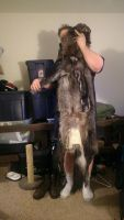 For Sale: Wolf Pelt by talakestreal