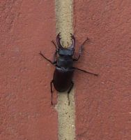 Male Stag Beetle by Dan-S-T