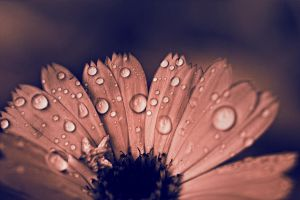 drops on flower. by Altingfest
