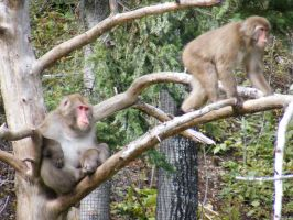 Japanese Macaque 1 by Milloune
