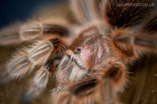 Grammostola rosea (RCF) Chile Rose Tarantula by spidermattcouk
