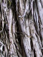 Tree Bark Texture 1 by Falln-Stock