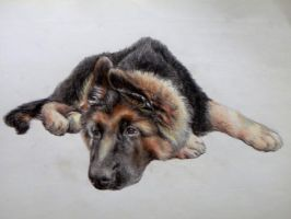 German Shepherd by BabysGotATemper