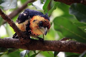 Crested Barbet by MarianGutu
