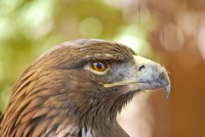 01055 Golden Eagle by Yellowstoned