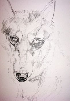 husky drawing study w.i.p. of lupin by lamelobo