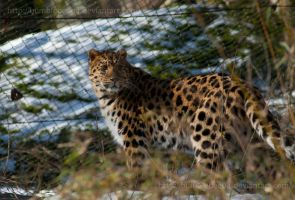 Week 10 - Amurleopard by Bumblebee04