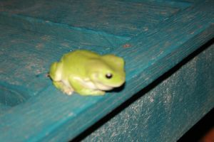 Green Tree Frog by snoopysoap