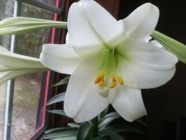 easter lily close up by BlueIvyViolet