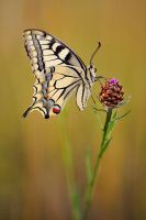 papilio machaon 2008 II by mescamesh