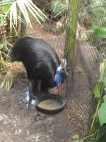 Southern Cassowary by Deede25