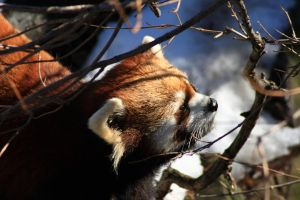 Red Panda in the Winter by timseydell