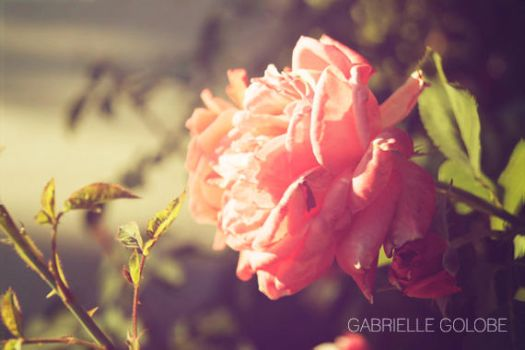 Twilight Rose 003 by MsGabrielle
