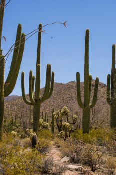 Saguaro. Arizona by avydenver
