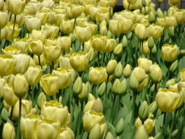 more tulips by charlieest