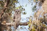 Barred Owl by CandiceSmithPhoto