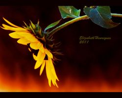 Kindling Sunflower by mariquasunbird1