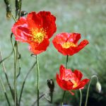 Iceland Poppy by Angie-Pictures