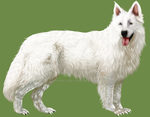 Berger Blanc Suisse by uana31