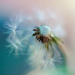 Dandelion by *fruitpunch1