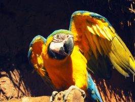 Blue-and-yellow Macaw. by andreachichizola