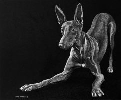 Pharaoh Hound by ronmonroe